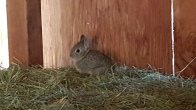 baby bunnies live in the haystack