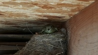 barn rafters make a great nest for babies